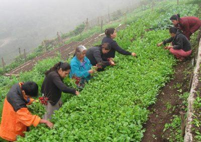 Selección de la verdura y cosechando rábanos
