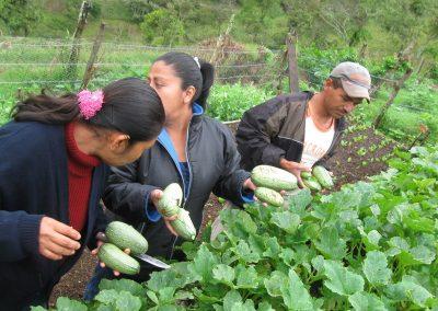 Selección y cosecha de calabaza guaje