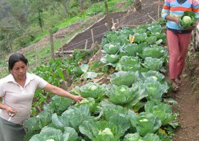 Mujeres cosechando repollos de la hortaliza comunitaria