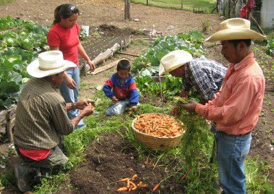 Selección de la verdura en la parcela comunitaria