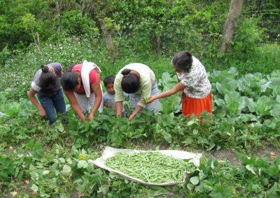 Selección y cosecha de frijol ejotero