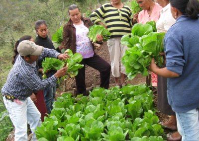 Repartición de la cosecha de lechuga orejona
